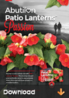 Abutilon-Patio-Lanterns-Passion