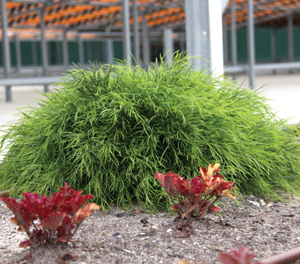 Charmant Vibrant Green Foliage Creates A Soft Compact Mound. A Valuable Addition To  Any Modern Garden Or Landscape, The Fine Foliage ...