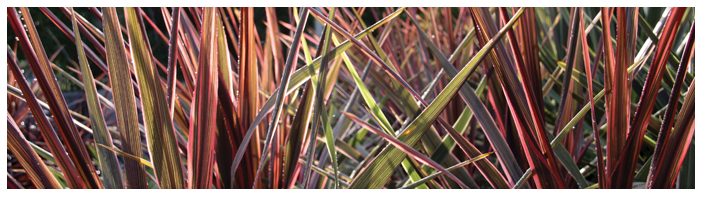 Cordyline-Can-Can-Banner
