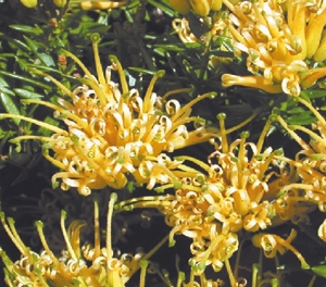 Grevillea juniperina prostrate gold touch of class plants modern grevillea juniperina prostrate gold mightylinksfo